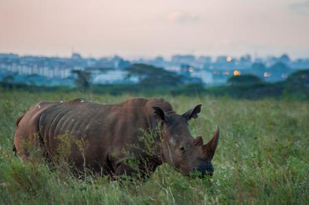 White Rhinoceros in the savannah of Nairobi Park in central Kenya