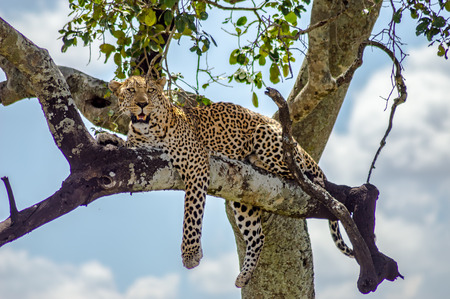 Leopard lying on a branch of a tree in the Masai Mara Park in North West Kenya Standard-Bild - 119673105