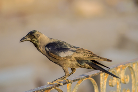 Close-up of a black crow sitting on a rail in the city of Hurghada in Egypt Stock Photo