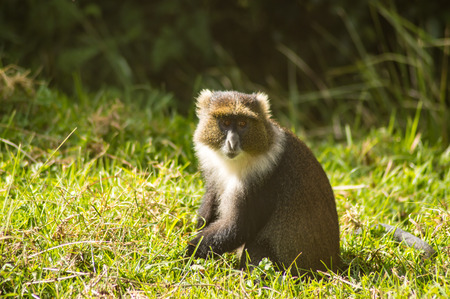 Monkey Sykes Cercopithecus frontalis sitting on the grass in Aberdare National Park Kenya Africa