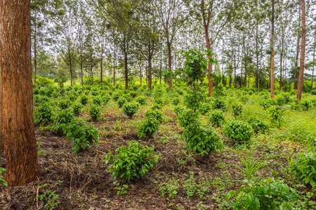 Young coffee plantations between rows of Thika trees in central Kenya