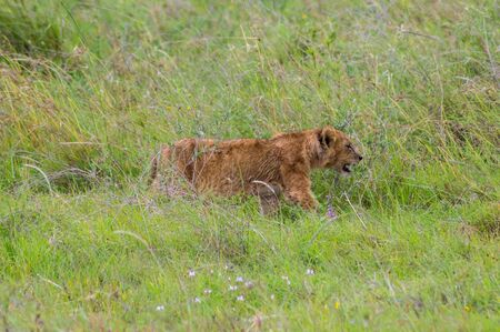 Lion cub walking in the tall grass of the savannah of Nairobi park in central Kenya