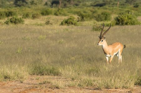 Young female antelope in the savannah of Samburu Park in central Kenya