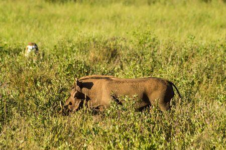 Warthog in the savannah of Samburu Park in central Kenya Stock Photo