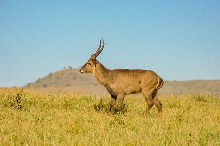 Male Kobus defassa - Tsavo, Kenya. A Male Kobus defassa - Tsavo, Kenya