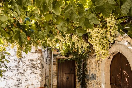 Vigne of white grapes suspended on a pergola near a restaurant on the island of crete in greece Stok Fotoğraf
