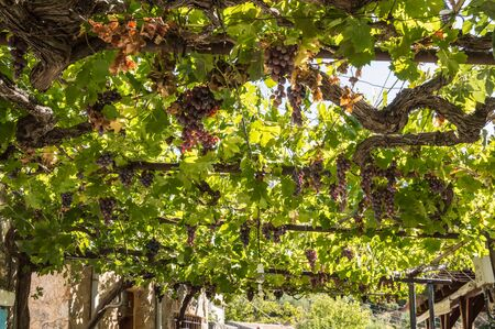 Red vine of superium grapes on a pergola near a restaurant on the island of crete in Greece