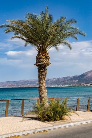 Palm tree alone on the sidewalk facing the Mediterranean Sea in the city of Stalis in Crete