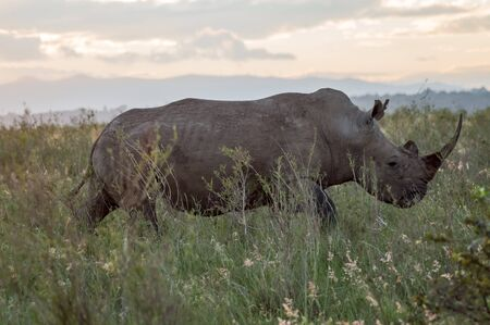 A rhinoceros in the savannah of Nairobi park in central Kenya Stock Photo