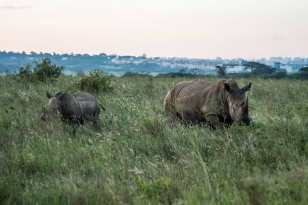 A rhinoceros and his cub in the savannah of Nairobi park in central Kenya