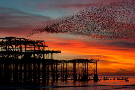 Murmuration over the ruins of Brightons West Pier on the south coast of England. Aerial acrobatics of a flock of starlings over the pier at sunset.