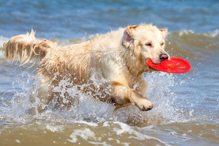 Golden Retriever has fun on the beach photo