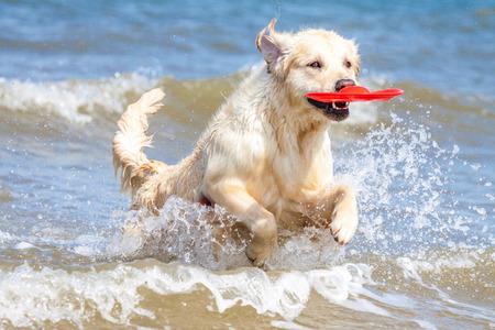 Golden Retriever runs through the North Sea
