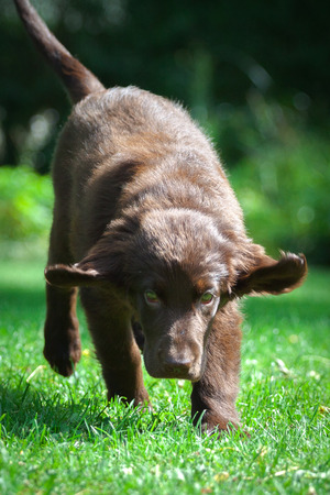 Young Flat-Coated Retriever Puppy