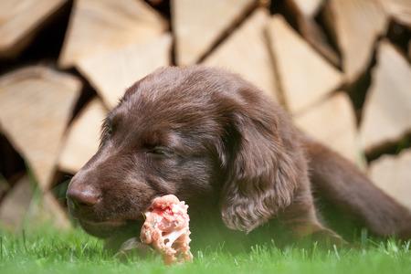 carcass: Flat Coated Retriever pup eet een kip karkas