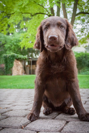 blissfully: Lucky Flat Coated Retriever Puppy
