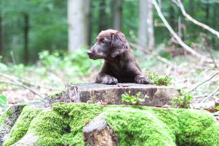 Flat Coated Retriever in the woods Stock Photo