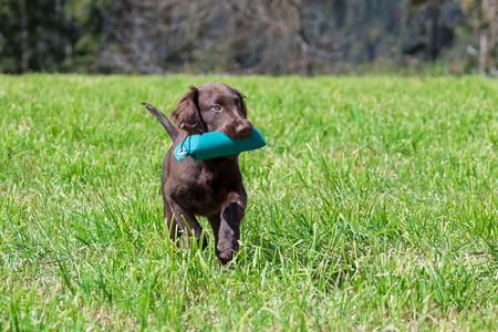 フラットコーテッド ・ レトリーバー子犬がダミーを取得します