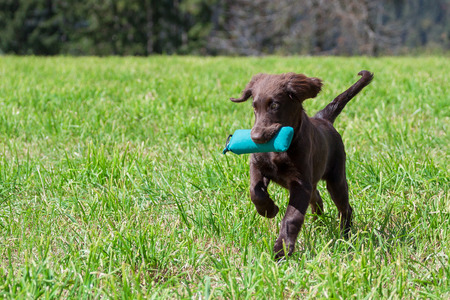 retrieves: Flat-Coated Retriever Puppy retrieves a Dummy