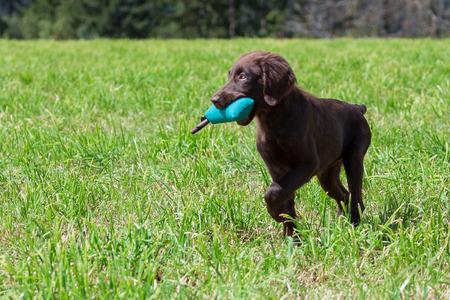 Flat-Coated Retriever Puppy retrieves a Dummy