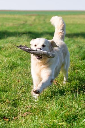 retrieves: Golden retriever retrieves a goose wing