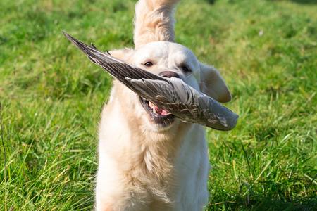 Golden retriever retrieves a goose wing