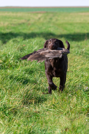 retrieves: Young dog retrieves a goose wing