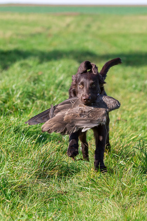Young dog retrieves a goose wing