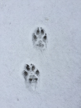 print: Paw print in the snow