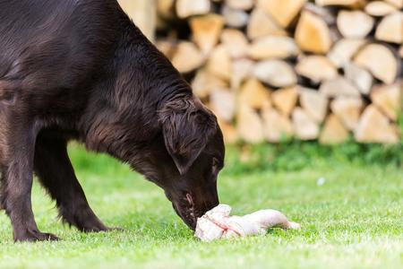 Flat Coated Retriever isst ein Huhn Standard-Bild - 40277608