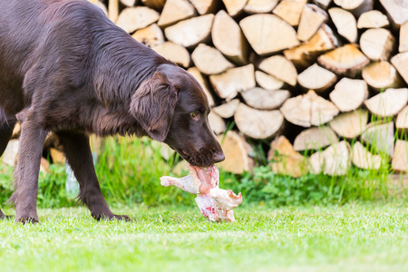 coated: Flat Coated Retriever eats a chicken
