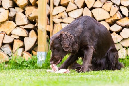 munching: Flat Coated Retriever eats a chicken