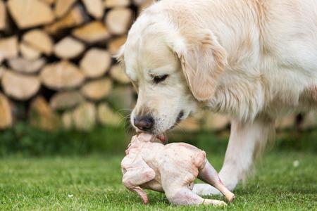 Golden Retriever eats a chicken