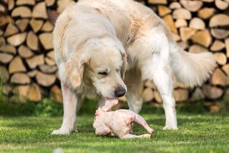 munching: Golden Retriever eats a chicken