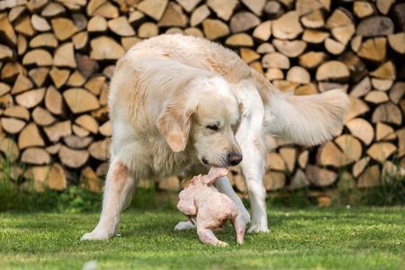 carcass meat: Golden Retriever eats a chicken