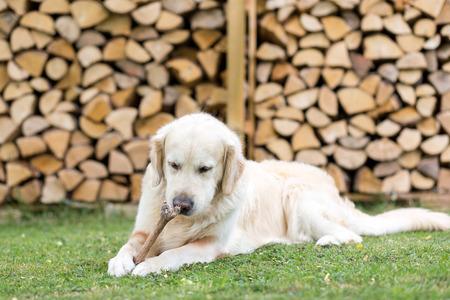 Golden Retriever isst ein Reh Bein Standard-Bild - 41779066
