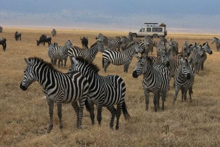 TROUPEAU DE ZEBRES NGORONGORO PARK TANZANIE- - HERD OF ZEBRAS NGORONGORO TANZANIA PARK Banque d'images