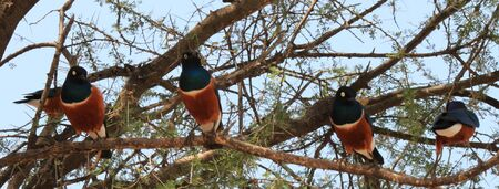 arbre: OISEAUX TARANGIRE PARK TANZANIE - SUPER STARLING PERCHING Editorial