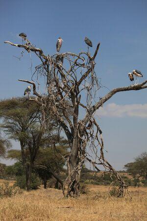 arbre: ARBRE A MARABOUT TARANGIRE PARK TANZANIE - MARABOU TREE TARANGIRE PARK TANZANIA