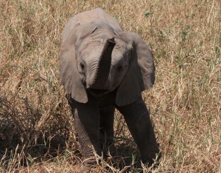 elephant angry: ELEPHANTEAU EN COLERE TARANGIRE PARK TANZANIE - BABY ELEPHANT ANGRY TARANGIRE PARK TANZANIA