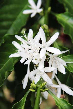 pflanze: Kaffee Stock Photo