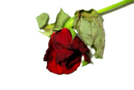 Dying red rose over a white background