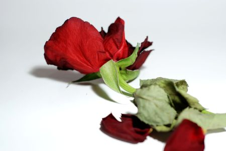 Wilting red rose over a slightly gray background