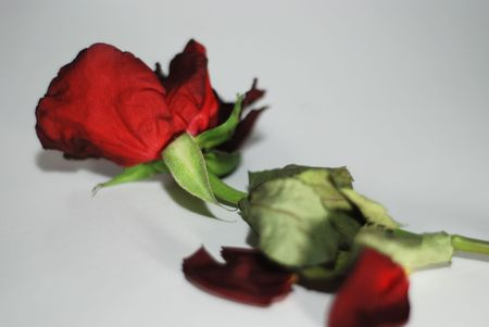 Wilting red rose over a gray background