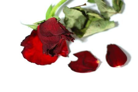 Dying red rose isolated on a white background