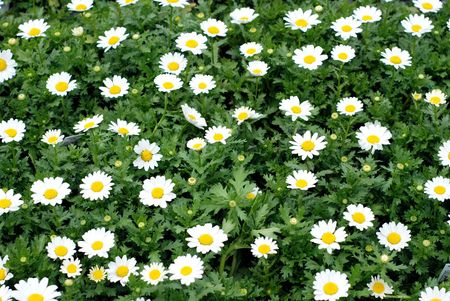 field of white daisies and lush green foliage