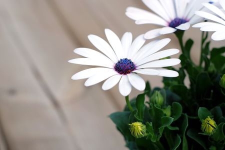 Beautiful white daisy plant on a backyard deck waiting to be transplanted Stock Photo