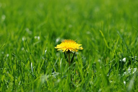 Close up of a single bright yellow dandilion in a luminous green lawn