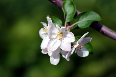 Close-up of a cluster of apple blossoms with a beautiful green background for contrast