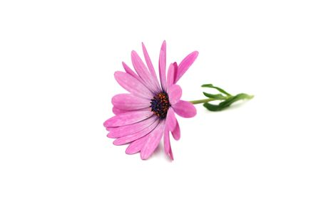 Beautiful pink daisy isolated on a white background